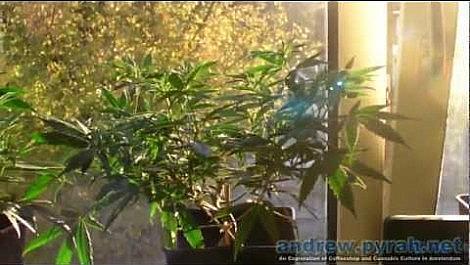 Cheese Cannabis Plants Update 2 - Amsterdam Grow