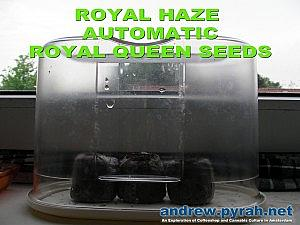 Royal Haze Automatic DAY 1