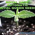 Royal Haze Automatic Day 10