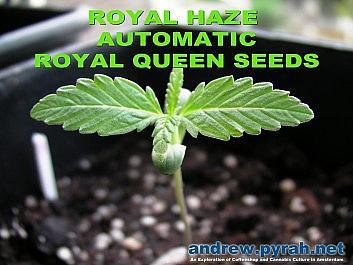 Royal Haze Automatic Day 10