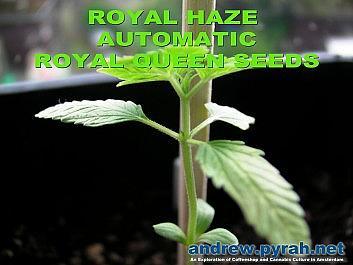 Royal Haze Automatic Day 17