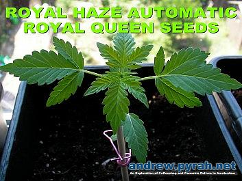 Royal Haze Automatic Day 21