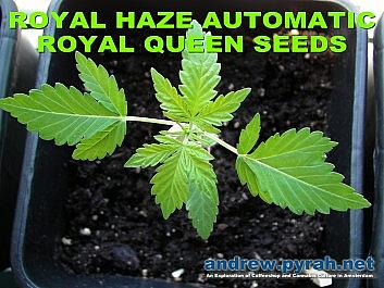 Royal Haze Automatic Day 21