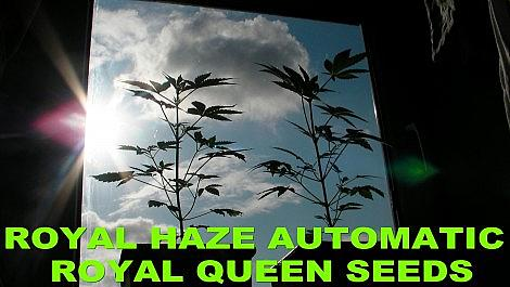 Royal Haze Automatic THE GROW Part 2 Let It Grow