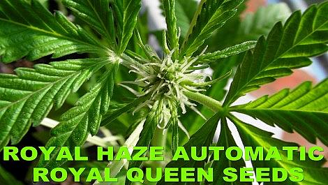 Royal Haze Automatic THE GROW Part 3 Flowering Begins