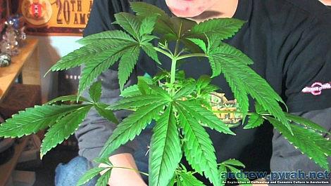 Kosher Kush Grow Update Week 5 / Dutch Law on Growing