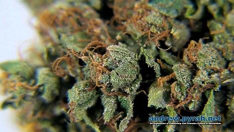 KOSHER KUSH - VOYAGERS COFFEESHOP - AMSTERDAM CANNABIS CUP 2013 ENTRIES