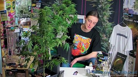 Royal Creamatic Harvest - Royal Queen Seeds Autoflowering Cannabis Grow