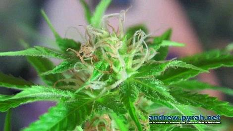 Royal Queen Seeds Autoflowering ROYAL CREAMATIC - Flowering Closeups