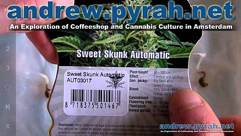 Sweet Skunk Automatic - Germinating the Seeds