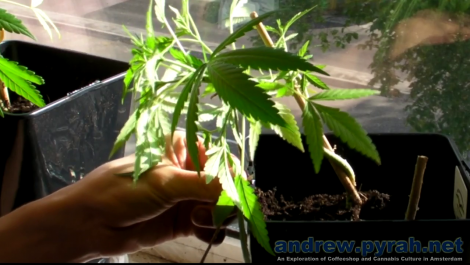 How To LST Cannabis (Cheese) Plants with Beeline Hemp Wick